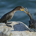 Double-crested Cormorants by Anthony Mercieca