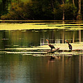 Double Crested Cormorants by Scott Hovind