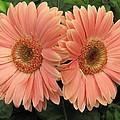 Double Delight - Coral Gerbera Daisies by Dora Sofia Caputo Photographic Design and Fine Art