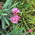 Double Oleander by Usha Shantharam