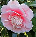 Double Pink Camilla Flower by Valerie Garner