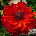 Double Poppy by Robert Bales