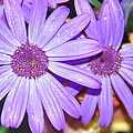 Double Purple by Aimee L Maher ALM GALLERY