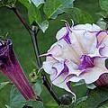 Double Purple Datura 6 by Lynne Miller