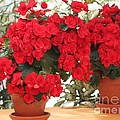 Double Red Begonias by Mary Lou Chmura