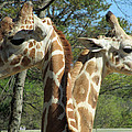 Giraffes With A Twist by Sandra Reeves