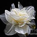Double White Daffodil In Dark Water by Byron Varvarigos