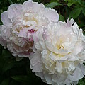Double White  Peony by Nicki Bennett