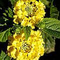 Double Yellow by Goyo Ambrosio