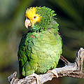 Double Yellow Headed Parrot by Anthony Mercieca