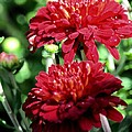 Doubled Red Mums by Maria Urso