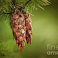 Douglas Fir Cones by Sharon Talson