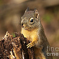 Douglas Squirrel On Stump by Sharon Talson