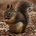 Douglas's Squirrel by David Salter
