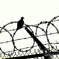 Dove Mourning by Joe Jake Pratt