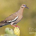 Dove On A Cactus Bud by Bryan Keil
