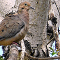Dove On A Tree by Eric Forster