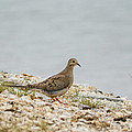 Dove On The Shore - 06.15.2014 by Jai Johnson