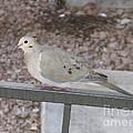 Dove by Theresa Davis
