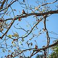 Doves In The Pecan Tree by Melinda Ledsome