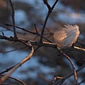 Downy Feather Backlit On Wintry Branch At Twilight by Anna Lisa Yoder