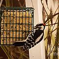 Downy Woodpecker 1 by Howard Tenke