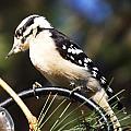 Downy Woodpecker 2 by Cynthia Syracuse