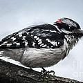Downy Woodpecker 3 by Ronald Grogan