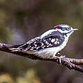 Downy Woodpecker by Chad Rowe