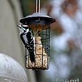 Downy Woodpecker by Lisa Kilby