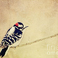 Downy Woodpecker by Pam  Holdsworth