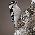 Downy Woodpecker Pictures 11 by World Wildlife Photography