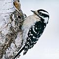 Downy Woodpecker Pictures 27 by World Wildlife Photography