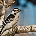 Downy Woodpecker Pictures 34 by World Wildlife Photography