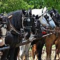 Draft Horses All In A Row by Valerie Kirkwood