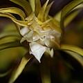 Dragon Flower by David Millenheft