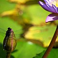 Dragon Fly On Bud And Water Lily Horizontal Number One by Heather Kirk