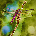 Dragon Fly Or Not Painterly by Scott Campbell