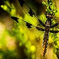 Dragonfly - Dragon Waiting by Barry Jones