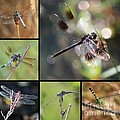 Dragonflies On Twigs Collage by Carol Groenen