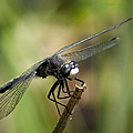Dragonfly 2 by Betty Depee