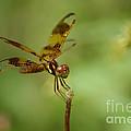 Dragonfly 2 by Olga Hamilton