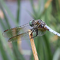 Dragonfly by Adrienne Franklin