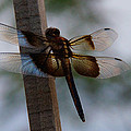 Dragonfly At Rest by Mick Anderson