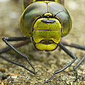 Dragonfly Close-up by Rachel Down