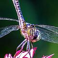 Dragonfly Close Up by Zina Stromberg
