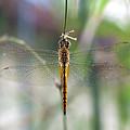 Dragonfly Closeup by Jit Lim