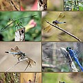 Dragonfly Collage 3 by Carol Groenen