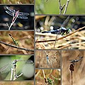 Dragonfly Collage by Carol Groenen