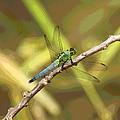 Dragonfly - Common Green Darner by Greg Thiemeyer